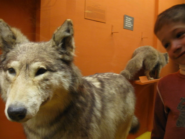 Checking out an impressively large European wolf